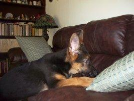 male German Shepherds puppy
